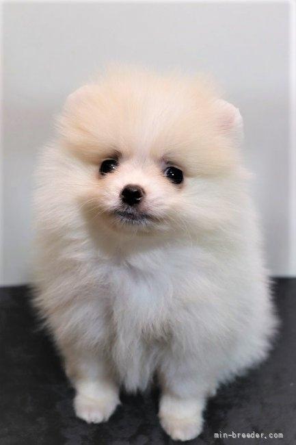 ポメラニアンの子犬(ID:1263711013)の1枚目の写真/更新日:2021-09-18