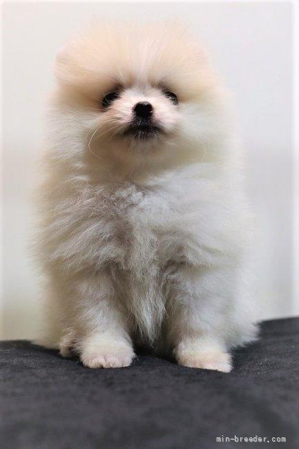 ポメラニアンの子犬(ID:1263711013)の2枚目の写真/更新日:2017-10-16