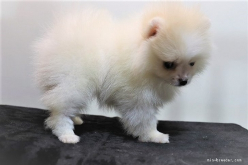 ポメラニアンの子犬(ID:1263711013)の4枚目の写真/更新日:2021-09-18
