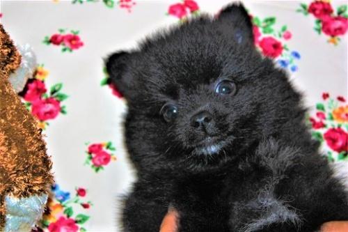 ポメラニアンの子犬(ID:1263711014)の1枚目の写真/更新日:2017-10-16