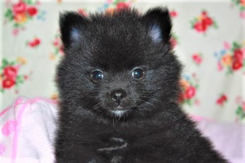 ポメラニアンの子犬(ID:1263711014)の2枚目の写真/更新日:2017-10-16