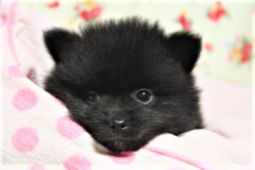 ポメラニアンの子犬(ID:1263711014)の3枚目の写真/更新日:2017-10-16