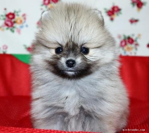 ポメラニアンの子犬(ID:1263711015)の1枚目の写真/更新日:2017-11-05