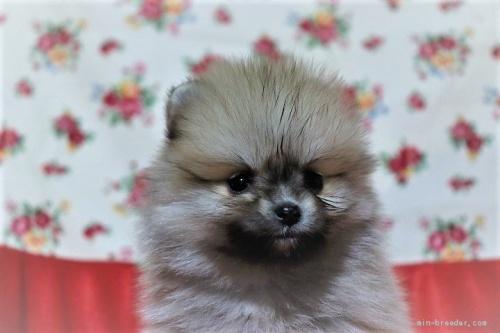 ポメラニアンの子犬(ID:1263711015)の2枚目の写真/更新日:2017-11-05