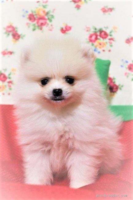 ポメラニアンの子犬(ID:1263711016)の1枚目の写真/更新日:2020-10-05