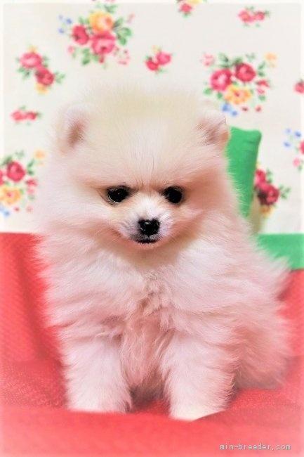 ポメラニアンの子犬(ID:1263711016)の2枚目の写真/更新日:2020-10-05