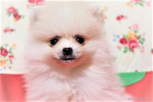 ポメラニアンの子犬(ID:1263711016)の3枚目の写真/更新日:2017-11-05
