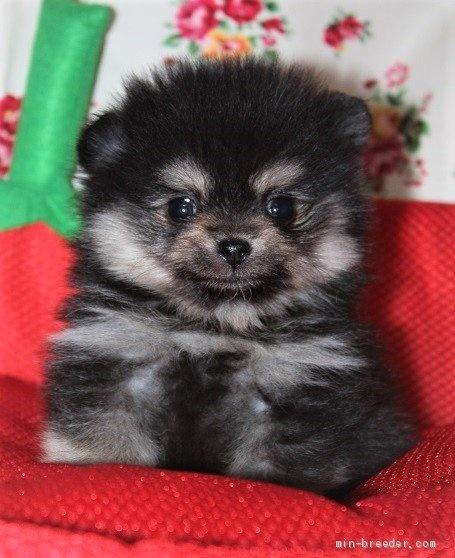 ポメラニアンの子犬(ID:1263711019)の1枚目の写真/更新日:2020-08-30