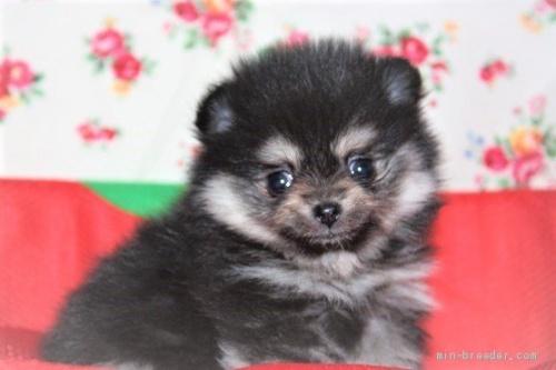 ポメラニアンの子犬(ID:1263711019)の2枚目の写真/更新日:2020-08-30