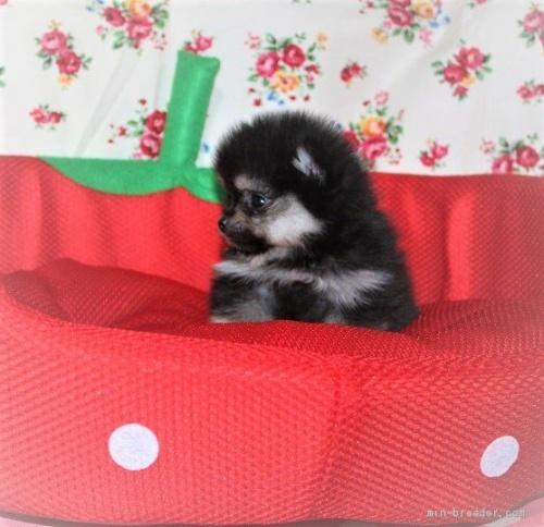 ポメラニアンの子犬(ID:1263711019)の3枚目の写真/更新日:2020-08-30