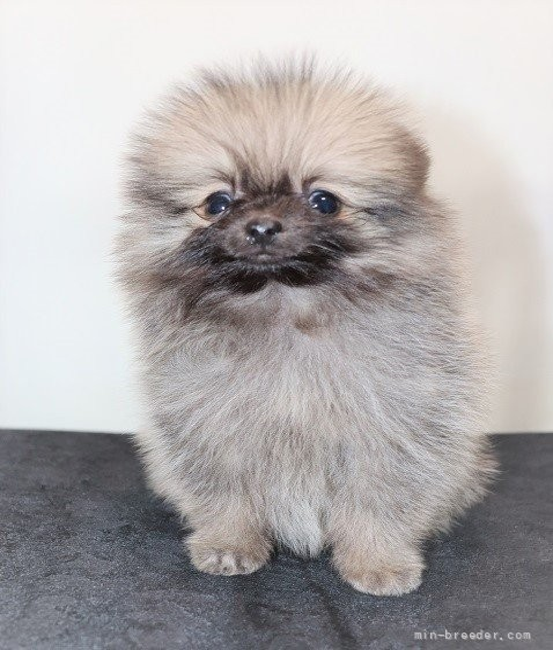 ポメラニアンの子犬(ID:1263711020)の2枚目の写真/更新日:2021-09-18