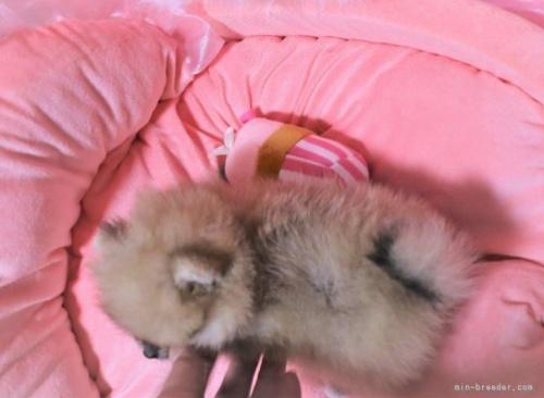 ポメラニアンの子犬(ID:1263711020)の4枚目の写真/更新日:2021-09-18