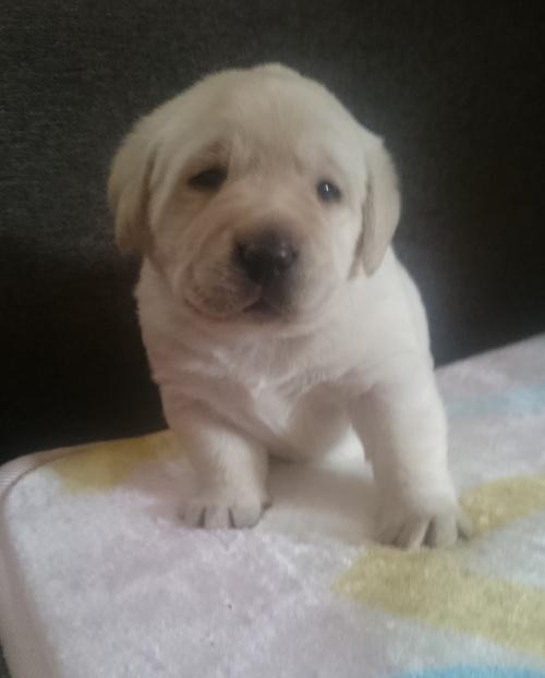 ラブラドールレトリバーの子犬(ID:1263811005)の1枚目の写真/更新日:2017-02-12