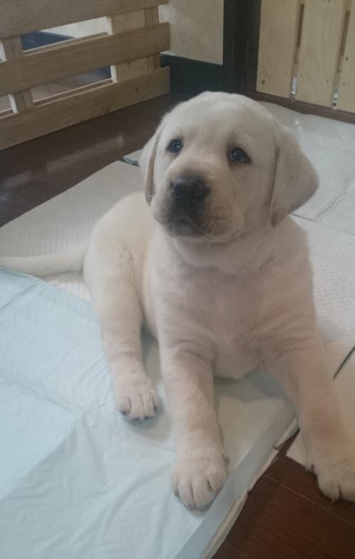 ラブラドールレトリバーの子犬(ID:1263811007)の1枚目の写真/更新日:2017-03-01