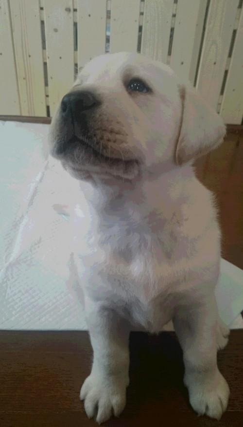 ラブラドールレトリバーの子犬(ID:1263811007)の2枚目の写真/更新日:2017-03-01