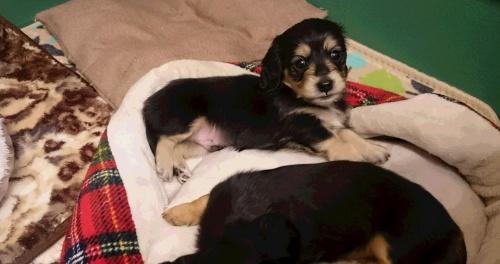 カニンヘンダックスフンド(ロング)の子犬(ID:1263811008)の1枚目の写真/更新日:2017-03-11