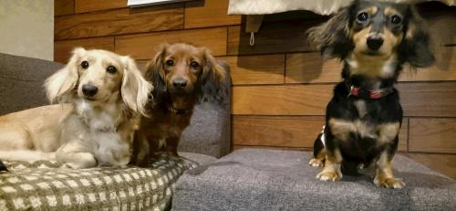 カニンヘンダックスフンド(ロング)の子犬(ID:1263811008)の4枚目の写真/更新日:2017-03-11