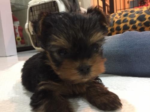 ヨークシャーテリアの子犬(ID:1264111003)の1枚目の写真/更新日:2018-02-12