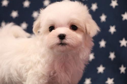マルチーズの子犬(ID:1264111009)の1枚目の写真/更新日:2020-01-21