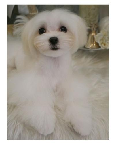 マルチーズの子犬(ID:1264111009)の4枚目の写真/更新日:2020-01-21