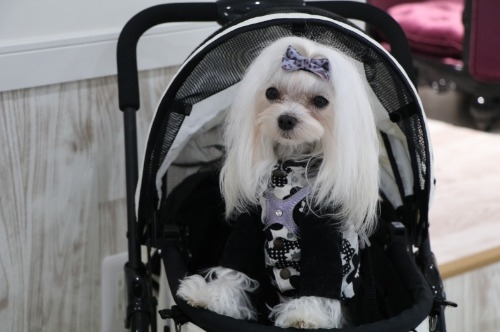マルチーズの子犬(ID:1264111009)の5枚目の写真/更新日:2020-01-21