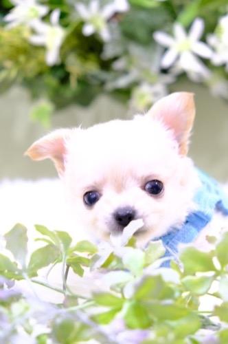 チワワ(ロング)の子犬(ID:1264111010)の3枚目の写真/更新日:2021-04-04