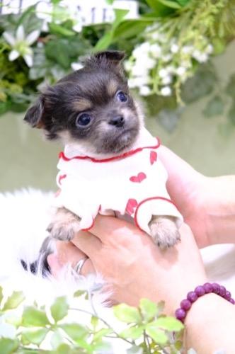 チワワ(ロング)の子犬(ID:1264111011)の1枚目の写真/更新日:2021-04-04
