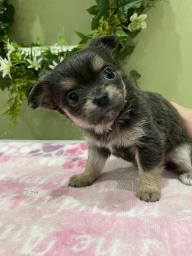 チワワ(ロング)の子犬(ID:1264111011)の2枚目の写真/更新日:2021-04-04