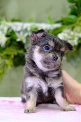 チワワ(ロング)の子犬(ID:1264111011)の3枚目の写真/更新日:2021-04-04