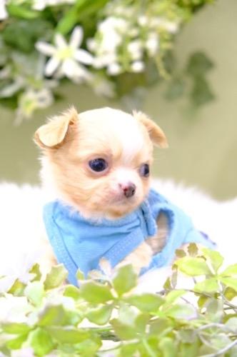 チワワ(ロング)の子犬(ID:1264111012)の1枚目の写真/更新日:2021-04-04