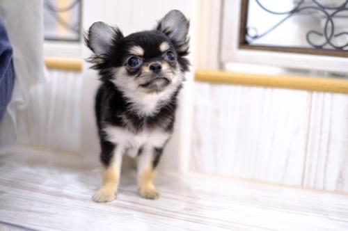 チワワ(ロング)の子犬(ID:1264111013)の1枚目の写真/更新日:2021-04-04