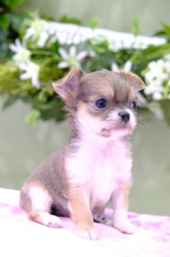 チワワ(ロング)の子犬(ID:1264111014)の1枚目の写真/更新日:2021-04-04