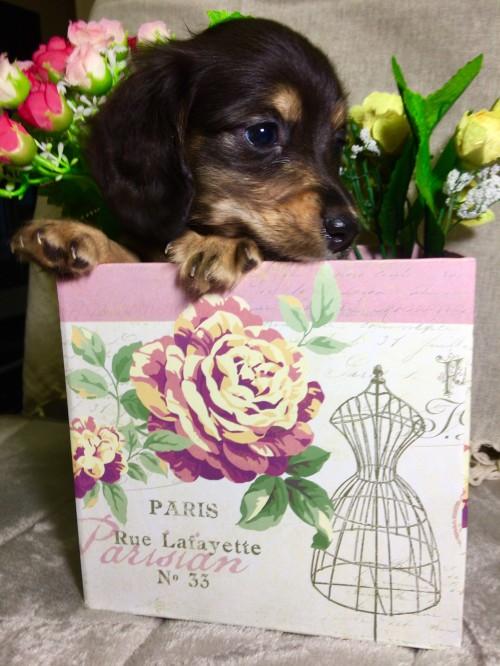ミニチュアダックスフンド(ロング)の子犬(ID:1264611006)の2枚目の写真/更新日:2017-02-14