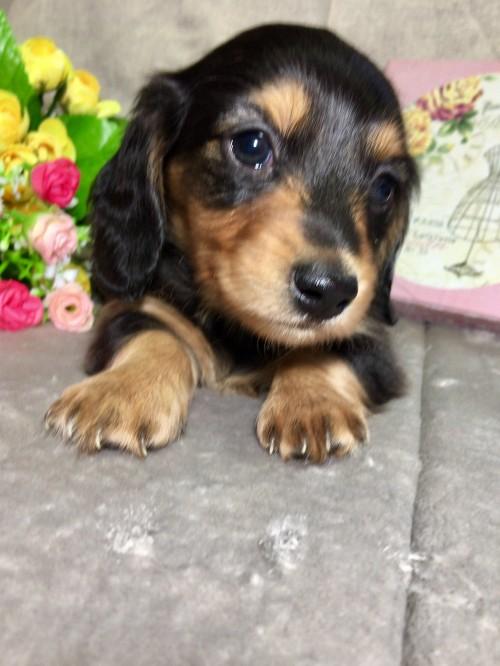 ミニチュアダックスフンド(ロング)の子犬(ID:1264611007)の1枚目の写真/更新日:2017-04-26