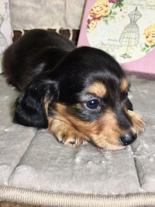 ミニチュアダックスフンド(ロング)の子犬(ID:1264611007)の1枚目の写真/更新日:2017-04-11