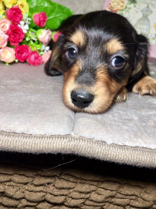 ミニチュアダックスフンド(ロング)の子犬(ID:1264611007)の3枚目の写真/更新日:2017-04-26