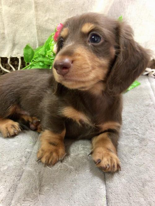 ミニチュアダックスフンド(ロング)の子犬(ID:1264611013)の1枚目の写真/更新日:2017-09-08