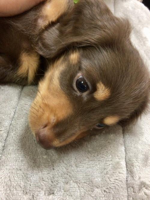 ミニチュアダックスフンド(ロング)の子犬(ID:1264611013)の3枚目の写真/更新日:2017-09-08