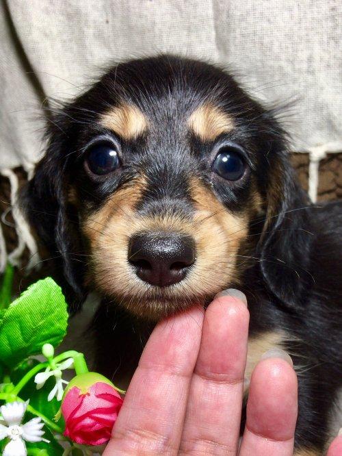 カニンヘンダックスフンド(ロング)の子犬(ID:1264611014)の1枚目の写真/更新日:2017-09-14