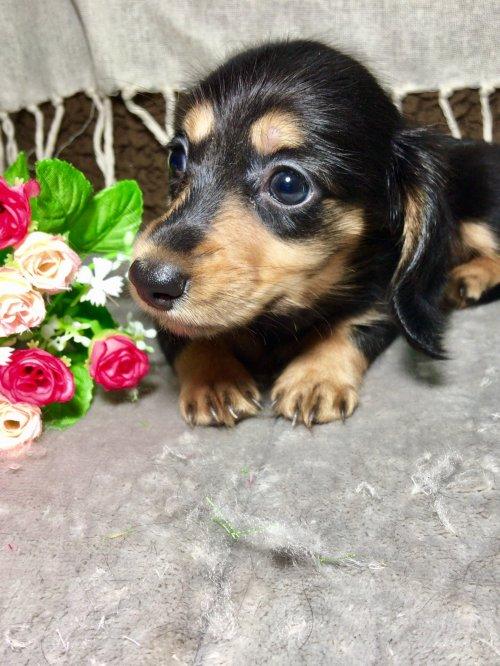 カニンヘンダックスフンド(ロング)の子犬(ID:1264611014)の2枚目の写真/更新日:2017-09-14