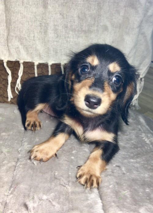 カニンヘンダックスフンド(ロング)の子犬(ID:1264611014)の4枚目の写真/更新日:2017-09-14