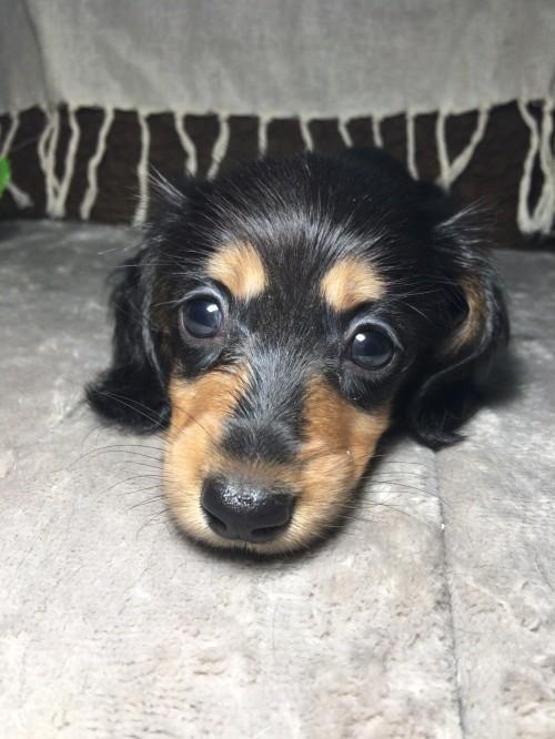 カニンヘンダックスフンド(ロング)の子犬(ID:1264611014)の5枚目の写真/更新日:2017-09-14