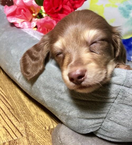 ミニチュアダックスフンド(ロング)の子犬(ID:1264611015)の2枚目の写真/更新日:2017-12-27