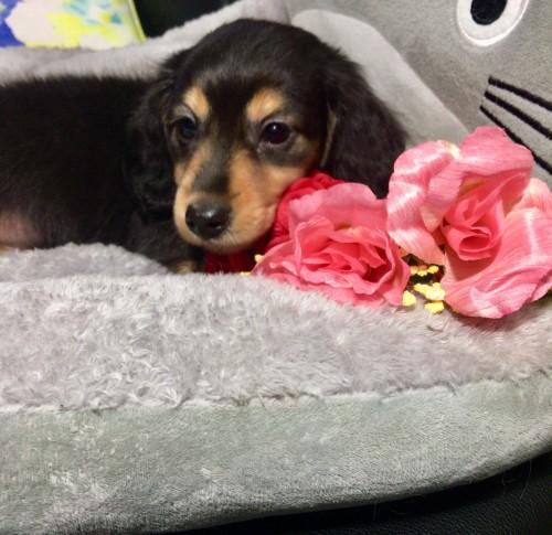 ミニチュアダックスフンド(ロング)の子犬(ID:1264611016)の2枚目の写真/更新日:2018-01-18