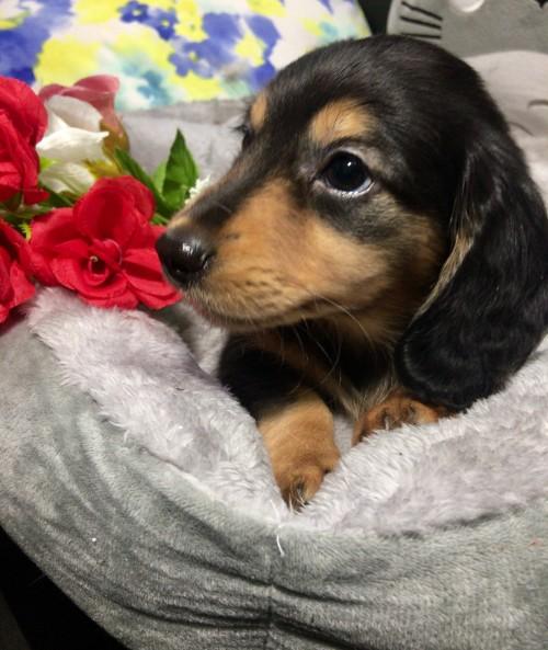 ミニチュアダックスフンド(ロング)の子犬(ID:1264611016)の3枚目の写真/更新日:2018-01-18