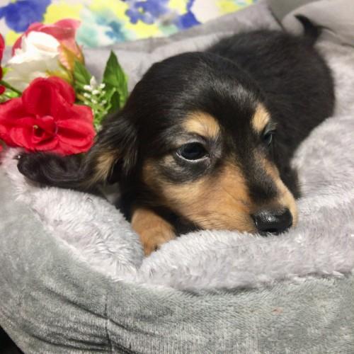 ミニチュアダックスフンド(ロング)の子犬(ID:1264611016)の4枚目の写真/更新日:2018-01-18