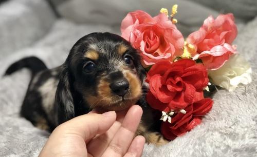 ミニチュアダックスフンド(ロング)の子犬(ID:1264611018)の1枚目の写真/更新日:2018-08-12