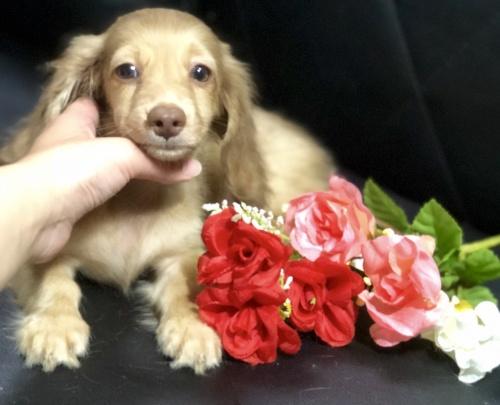 ミニチュアダックスフンド(ロング)の子犬(ID:1264611020)の2枚目の写真/更新日:2018-09-09