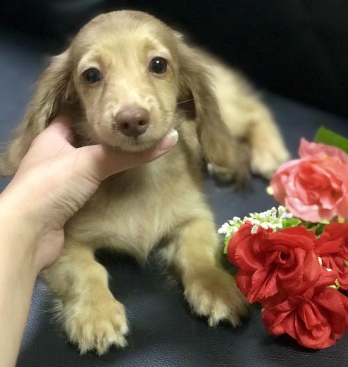 ミニチュアダックスフンド(ロング)の子犬(ID:1264611020)の3枚目の写真/更新日:2018-09-09