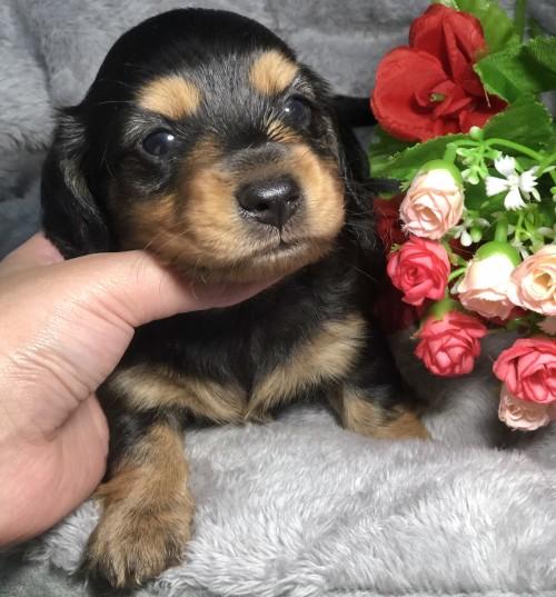 ミニチュアダックスフンド(ロング)の子犬(ID:1264611021)の1枚目の写真/更新日:2019-01-21